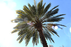 Palm Tree. In Clearwater Florida looking up at a palm Tree Royalty Free Stock Image