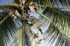 Palm tree climber. Palm ree climber at workt Royalty Free Stock Photos
