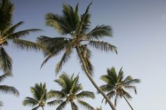 Palm tree climber. Caribbean palm trees Stock Images