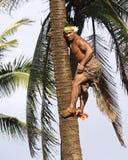 Palm Tree Climber. Oahu, Hawaii - Samoan native climbs high up a palm tree using no tools at the Polynesian Cultural Center Stock Images