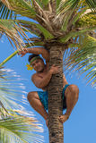 Palm tree climber Royalty Free Stock Images