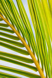 Palm Tree close up Stock Image
