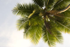 Palm Tree Close-up Royalty Free Stock Photos