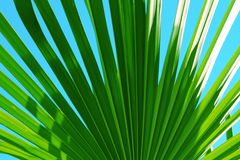 Palm leaf close up in the blue sky royalty free stock photo