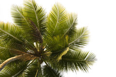 Palm Tree Close-up Isolated royalty free stock image