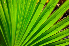 Palm tree close-up leaves texture with shadow Royalty Free Stock Image