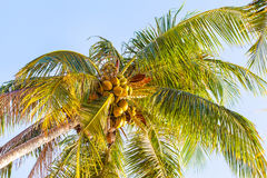 Palm tree. Close up shot of a tall palm tree over the blue sky in a tropical island Royalty Free Stock Images