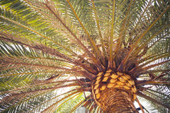 Palm tree, close-up view Royalty Free Stock Photography