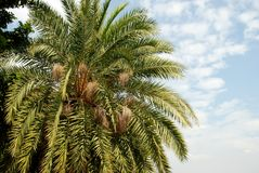 A palm tree. A close up view of a palm tree and its leaves Stock Photography