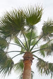 Palm tree closeup Royalty Free Stock Images