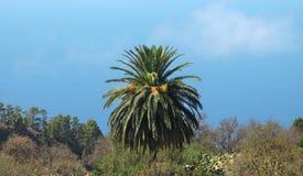 Palm tree in the coastline. Spain. Canary Island. La Palma Royalty Free Stock Images