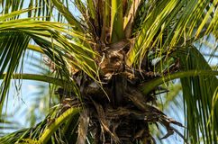 Palm Tree Without Coconut Royalty Free Stock Image