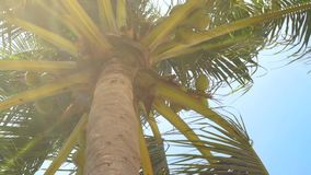 Palm tree with coconut on blue sky background. Summer landscape coconut palm tree on tropical sea shore. Palm tree with coconut on blue sky background. Summer stock video footage