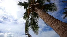 Palm tree with coconut  on blue sky. View from the palm trunk stock video footage