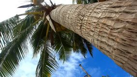 Palm tree with coconut  on blue sky. View from the palm trunk stock video
