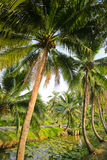 Palm tree with coconut Stock Photos