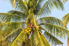 Palm tree with coconut Royalty Free Stock Photos