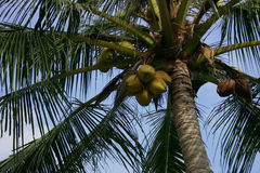 Palm tree with coconuts Royalty Free Stock Photography