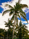 Palm tree with coconuts. Palm trees with coconuts, blue sky and clouds Stock Images