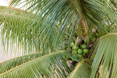 Palm Tree with Coconuts. A palm tree with a bunch of coconuts stock photography