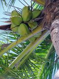 Palm tree coconuts Royalty Free Stock Image