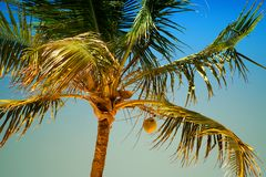 Palm tree with coconuts against the blue sky Stock Photo