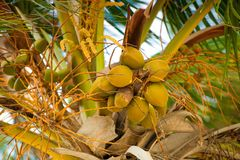 Palm tree with coconuts against the blue sky Royalty Free Stock Images