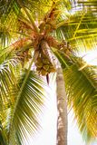 Palm tree with coconuts against the blue sky Stock Images