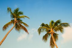 Palm tree with coconuts against the blue sky Royalty Free Stock Photos