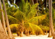 Palm tree with coconuts against the blue sky.  Royalty Free Stock Photography