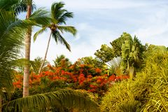 Palm tree with coconuts against the blue sky.  Royalty Free Stock Images