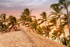 Palm tree with coconuts against the blue sky.  Stock Image