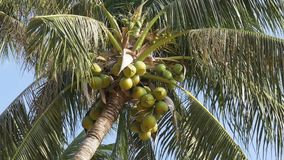 Palm tree with coconuts against the blue sky. Big green coconuts. Thailand. Palm tree with coconuts against the blue sky. Big green coconuts. Leaves of palm tree stock video