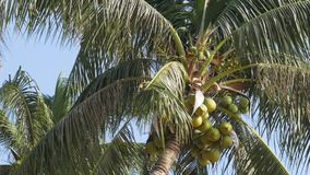 Palm tree with coconuts against the blue sky. Big green coconuts. Thailand. Palm tree with coconuts against the blue sky. Big green coconuts. Leaves of palm tree stock footage