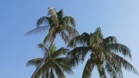 Palm tree with coconuts against the blue sky. Big green coconuts. Thailand. Palm tree with coconuts against the blue sky. Big green coconuts. Leaves of palm tree stock video footage