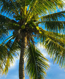 Palm Tree with Coconuts. The deep blue sky shows off the towering palm tree swaying in the breeze. The coconuts are not yet ripe enough to fall from this tree Stock Images