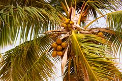 Palm tree with coconuts against the blue sky.  Stock Photo