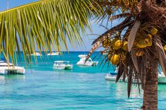 Palm tree with coconuts on the background of the sea in Bayahibe, La Altagracia, Dominican Republic. Copy space for text. Stock Images