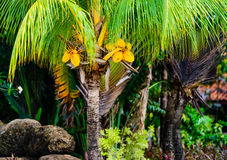 Palm tree and coconuts Royalty Free Stock Photos