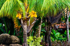 Palm tree and coconuts. Palm tree with coconuts at the beach Royalty Free Stock Photos