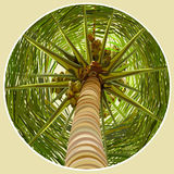 Palm tree with coconuts bottom view. The trunk Stock Image
