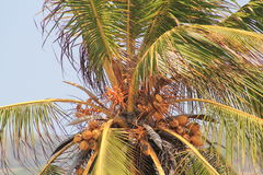 Palm tree with coconuts. On the Caribbean coast Royalty Free Stock Photo