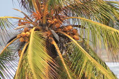 Palm tree with coconuts. On the Caribbean coast Stock Photo