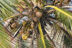 Palm tree with coconuts. On the Caribbean coast Royalty Free Stock Photos
