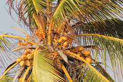 Palm tree with coconuts. On the Caribbean coast Stock Photography