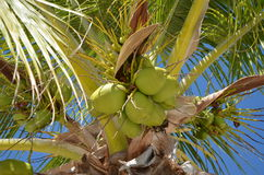 Palm tree coconuts royalty free stock images