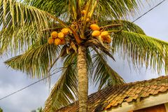 Palm tree with coconuts Stock Images