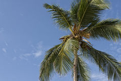 Palm Tree & Coconuts Royalty Free Stock Image