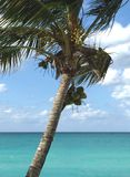 Palm tree with coconuts over the ocean. Beautiful horizon line and turquoise water. Atlantic coast of Cuba Royalty Free Stock Images