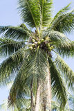 Palm tree with coconuts. Stock Images